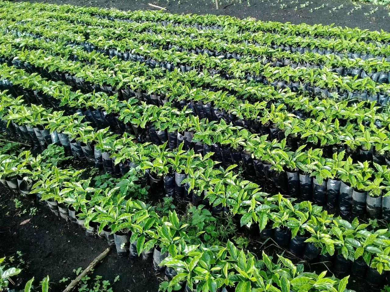 Panama Via Volcan Green Coffee Caturra 10 lbs