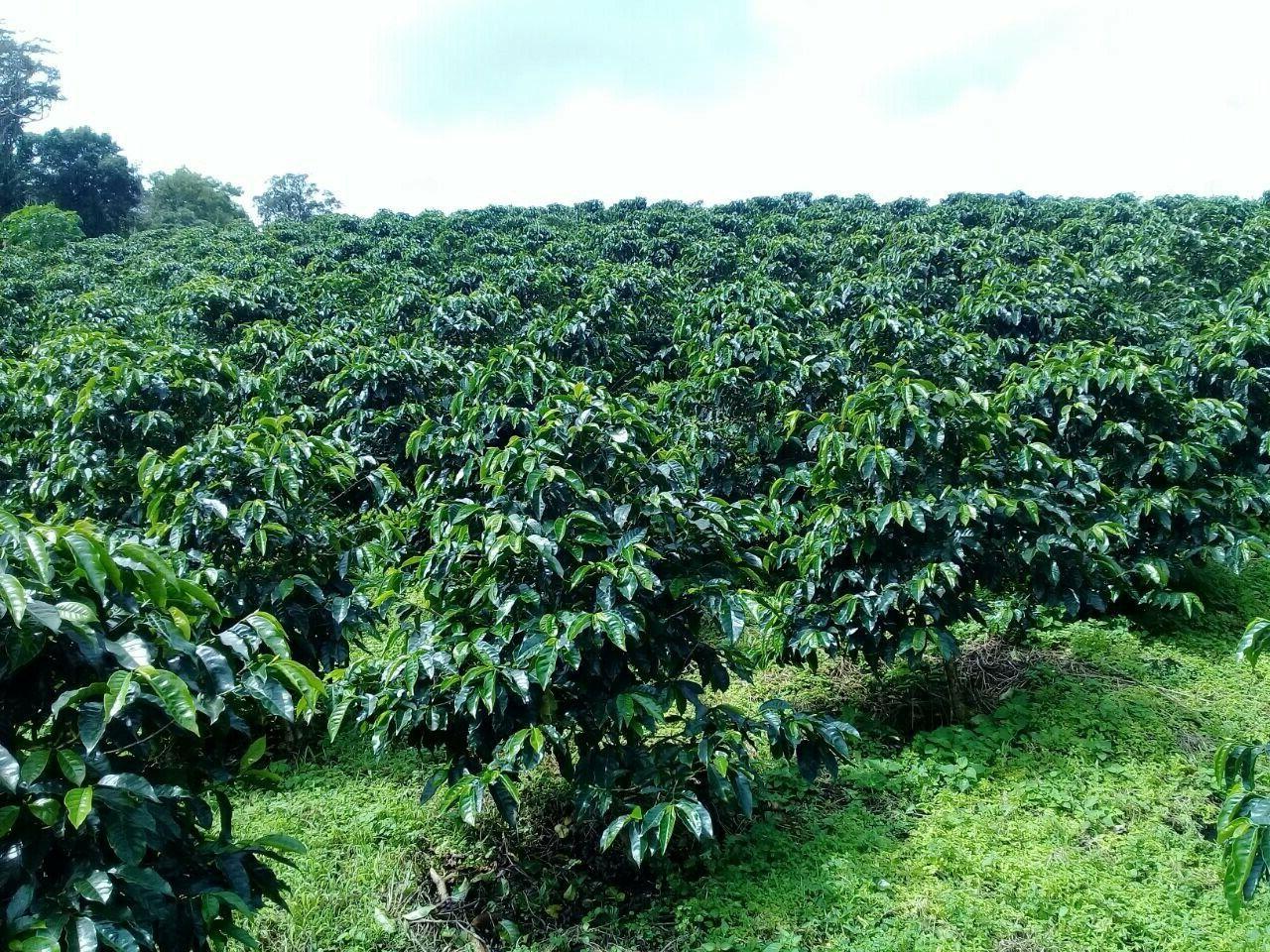 Panama Green Caturra - 10