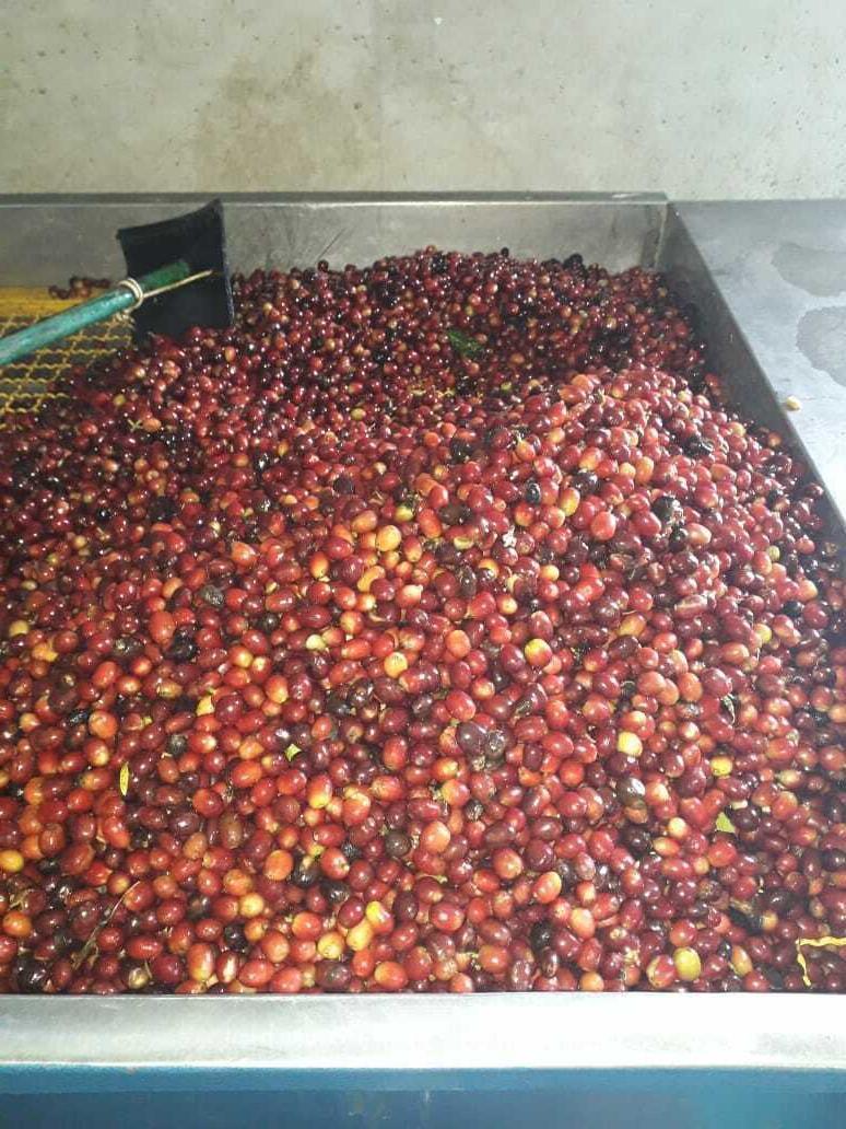 Panama Green Beans SHB Caturra -
