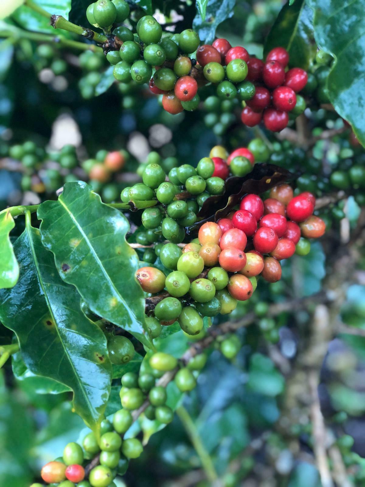 Panama Via Green Caturra lbs